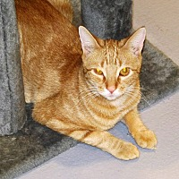 Domestic Shorthair Cat for adoption in Lafayette, New Jersey - Schroder