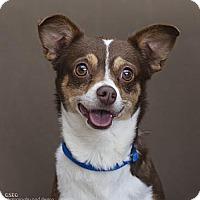 Adopt A Pet :: Roo - Dallas, TX