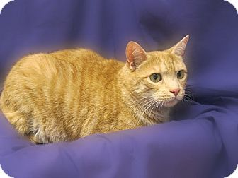 Domestic Shorthair Cat for adoption in Richmond, Virginia - Bubba