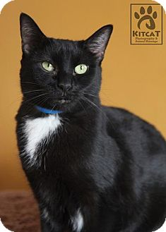 Domestic Shorthair Cat for adoption in Lancaster, Massachusetts - Holly