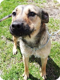 Terrier (Unknown Type, Medium)/Shepherd (Unknown Type) Mix Dog for adoption in Detroit, Michigan - Wiggles-Adopted!