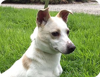 Jack Russell Terrier Mix Dog for adoption in Rhinebeck, New York - Stark