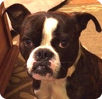 boxer and boston terrier mix cody adopted dog north augusta sc boston terrier 4409