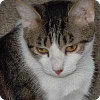 Domestic Shorthair Cat for adoption in Jacksonville, North Carolina - Bob