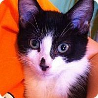Adopt A Pet :: Peter - Reston, VA