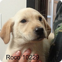Adopt A Pet :: Roco - baltimore, MD