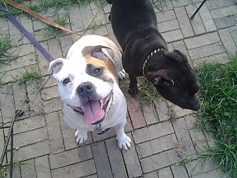 Bulldog Dog for adoption in Cincinnati, Ohio - Reesie