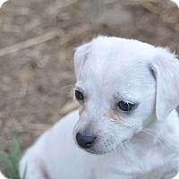Adopt A Pet :: Boo - Tumwater, WA