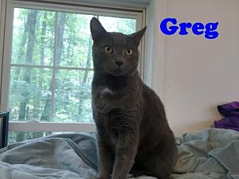 Domestic Shorthair Cat for adoption in East Stroudsburg, Pennsylvania - Greg