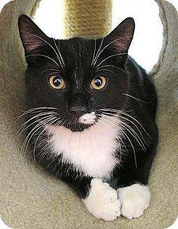 Domestic Shorthair Cat for adoption in Norwalk, Connecticut - F Scott Fitzferal