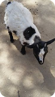 Goat for adoption in Palmdale, California - Morrigan