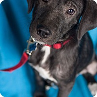 Adopt A Pet :: Samara - Minneapolis, MN