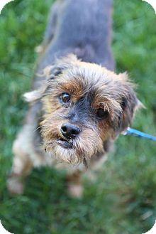 Yorkie, Yorkshire Terrier/Chinese Crested Mix Dog for adoption in Edina, Minnesota - Jojo D161101