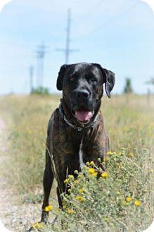 Boxer/Mastiff Mix Dog for adoption in Cheyenne, Wyoming - Tyger