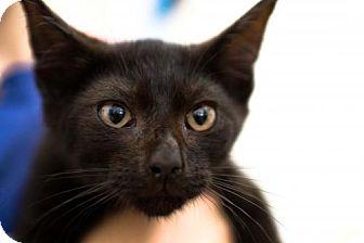 Domestic Shorthair Cat for adoption in Harrisonburg, Virginia - Spooky
