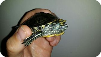 Turtle - Other for adoption in Pefferlaw, Ontario - Nugget