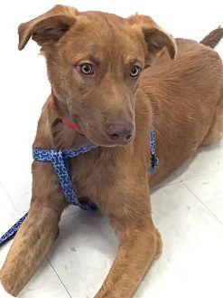 Golden Retriever Mix Dog for adoption in Spartanburg, South Carolina - Carson- Adoption Pending
