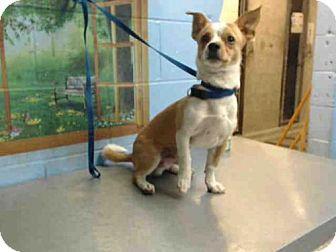 Chihuahua Mix Dog for adoption in San Bernardino, California - A499545