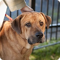 Adopt A Pet :: Bear - Dallas, TX