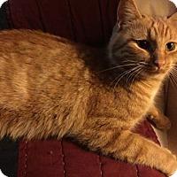 Domestic Shorthair Cat for adoption in Caro, Michigan - Ruby