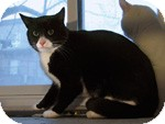 Domestic Shorthair Cat for adoption in Ottawa, Ontario - Fred Astaire
