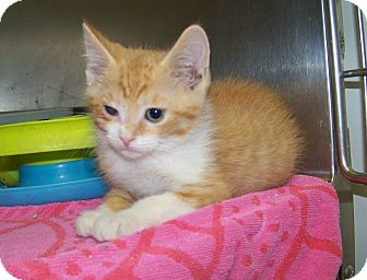 Domestic Shorthair Kitten for adoption in Dover, Ohio - Martin