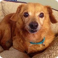 Adopt A Pet :: Merry - courtesy - Redondo Beach, CA