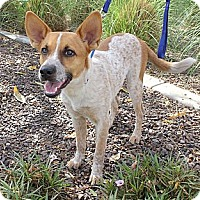 Adopt A Pet :: Roper - Phoenix, AZ