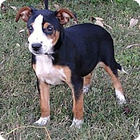 Adopt A Pet :: *Socks - PENDING - Westport, CT