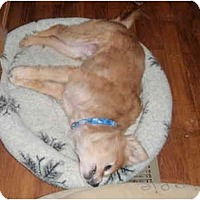 Adopt A Pet :: Ginny - Seymour, CT
