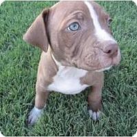 Adopt A Pet :: Pip - Mesa, AZ