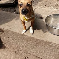 Chihuahua Mix Dog for adoption in Chicagoland area, Illinois - PATUNA