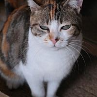 Calico Cat for adoption in San Pablo, California - ASTRID