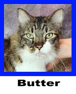 Maine Coon Cat for adoption in Wichita Falls, Texas - Butter