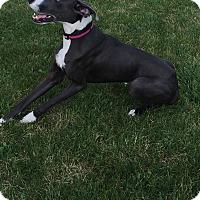 Adopt A Pet :: Daysia - O'Fallon, MO