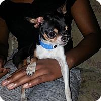 Adopt A Pet :: Paco 1 - Las Vegas, NV