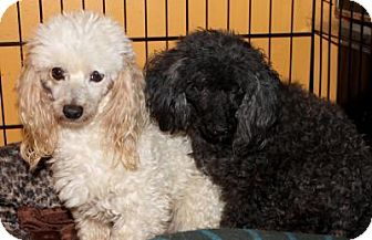 Poodle (Standard) Dog for adoption in Memphis, Tennessee - Salt