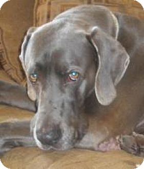 Weimaraner Dog for adoption in Sun Valley, California - Winston