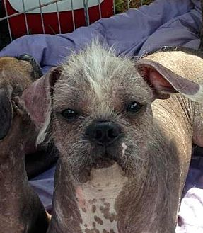 Boston Terrier/Chinese Crested Mix Dog for adoption in Inverness, Florida - Meatball
