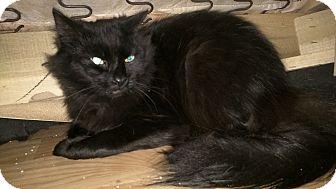 Domestic Longhair Cat for adoption in Smyrna, Georgia - Ernie
