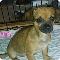 Adopt A Pet :: Marcy - House Springs, MO