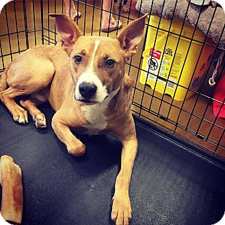 Boxer/Terrier (Unknown Type, Medium) Mix Dog for adoption in Sanford, North Carolina - Buster