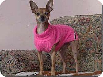 Chihuahua Mix Dog for adoption in Sedona, Arizona - Caribou