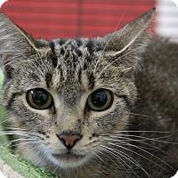 Adopt A Pet :: Sheba - Sarasota, FL