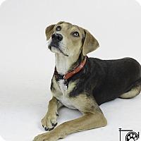 Adopt A Pet :: HAZEL - Knoxville, TN