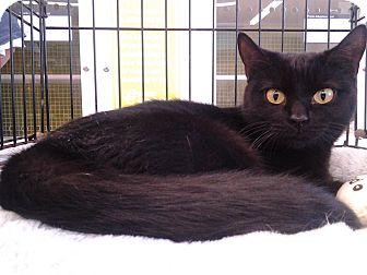 Domestic Shorthair Cat for adoption in Richmond, Virginia - Celeste