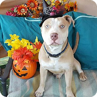 American Staffordshire Terrier Mix Dog for adoption in Toluca Lake, California - Ziggy