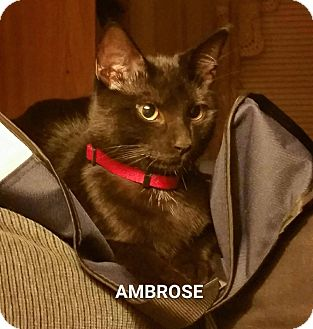 Domestic Shorthair Kitten for adoption in West Orange, New Jersey - Ambrose