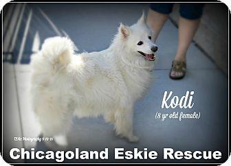 American Eskimo Dog Dog for adoption in Elmhurst, Illinois - Kodi