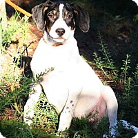 American Bulldog/Labrador Retriever Mix Puppy for adoption in Saratoga, New York - Smitty